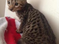 Hello Everyone, we have two amazing Savannah kittens