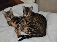 New Bengal litter born 9/2/2014 will prepare very first