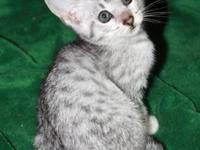 Incredible TICA registered Savannah kittens offered F5
