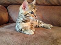 F5 Bengal Kittens for Sale,For More Infor & Pictures