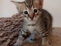 This F5 male Savannah kitten is TICA signed up. Born