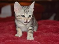Full blooded F5 savannah kittens for sale. 8 weeks old.