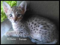 I have 3 beautiful female Savannah kittens that will be