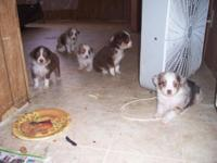 TOY MINI AUSSIES---NO NICER QUALITY OR COLORS AROUND.