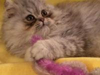 Fabulous blue tabby male Persian kitten born 1-9-17.