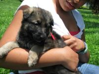 Asolutely gorgeous German Shepherd Dog puppy available
