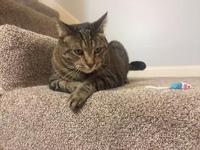 Oberon  Fabulous Tabby Lab Cat Seeks Loving Home in