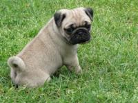 Fabulous M/F Fawn Pug Puppies.Very happy, healthy