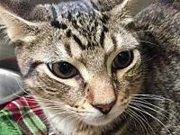 Faddle's story Primary Color: Brown Tabby Secondary