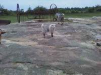 Fainting goat billy for sale, $100, born 3/21/2011, can