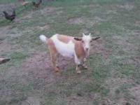 Fainting goat nanny for sale, $100, she was born