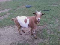 Registered fainting goat nanny for sale, $150, for more
