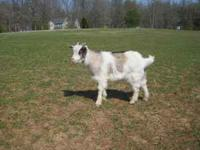 For Sale Fainting Goat billies- 4 mo old some