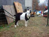 Two Fainting Goats for sell $200 each, both males, one