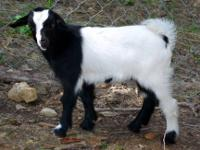 I have 6 Tennessee Fainting goats. One buck, three