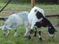 Fainting goats, doe with 3 month old buckling at her