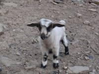 Hi, I have 2 fainting goat males available. Registered
