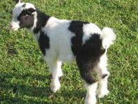 Fainting Goats- 8 wks old all can be registered -