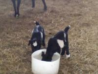 TWO NEW BABY FAINTING GOATS. BOTH ARE BOYS. BORN