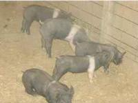 I have 2 different litters very nice fair pigs looking
