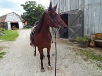 Faith is a 14.2hh Arabian mare. She is still green but