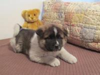 Faithful Akita Puppies Available Now For sale.Please