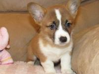 Faithful Pembroke Welsh Corgi..Puppies Available Now
