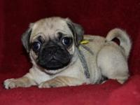 Faithful Pug..Puppies Available Now For sale...Please