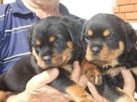 Faithful Rottweiler....Puppies Available Now For