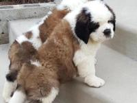 Faithful Saint Bernard..Puppies Available Now For