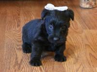 Faithful Scottish Terrier.Puppies Available Now For
