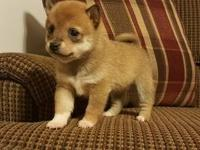 Faithful Shiba Inu..Puppies Available Now For
