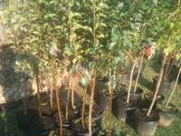 WE HAVE MANY FRUIT AND FALL TRESS FOR SALE, NOW IS THE