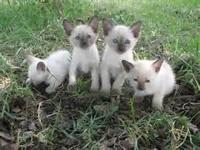 Family raised Siamese kittens all set to go. We have
