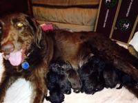 Gorgeous choc f2 labradoodle young puppies available