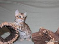 Gorgeous, TICA registered Bengal kitten available from