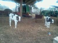 I have a few ADGA Nubian goats for sale, 3 Bottle