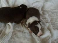 Registered puppies born 11/28/13, black and white,blue