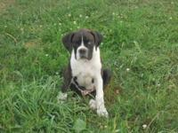 ~Family Raised Purebred Boxer Puppies~ Our family has