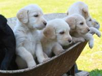 Family-Raised Labradoodle Puppies. They are