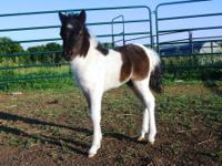 Pepperhill Miniatures has three little miniature horses