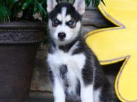 Family raised Siberian Husky puppies are looking for
