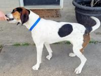 Famous Trixie is a gorgeous 2 year old Treeing Walker