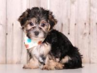Fancy is a very loving Morkie! She loves to play and