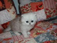 Chinchilla Silver Persian Kitten available for sale