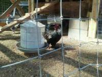 2 roosters and 6 hens. 1 Rooster is a sibling to the