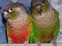 I have a proven pair of fancy green cheek conures I