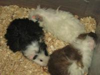 I have a few fancy baby guinea pigs ready for new homes