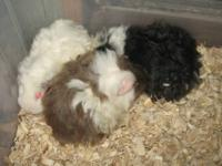 I have baby guinea pigs available now. There are a few