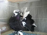 Indian Fantails: Rare colors 50.00 ea, Bi colors 25.00